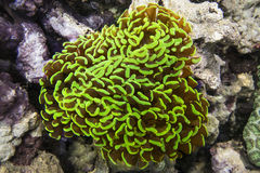 Euphyllia paraancora сoral green Royalty Free Stock Image