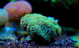 Euphyllia species Large Polyp Stony coral in saltwater reef aquarium. Euphyllia is a genus of large-polyped stony coral.Several species are commonly found in royalty free stock photography