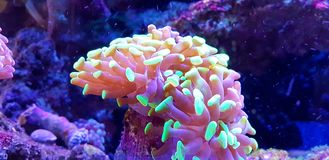 Euphyllia species Large Polyp Stony coral in saltwater reef aquarium. Euphyllia is a genus of large-polyped stony coral.Several species are commonly found in royalty free stock image