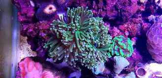 Euphyllia species Large Polyp Stony coral in saltwater reef aquarium. Euphyllia is a genus of large-polyped stony coral.Several species are commonly found in stock photos