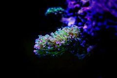 Euphyllia species Large Polyp Stony coral in saltwater reef aquarium. Euphyllia is a genus of large-polyped stony coral.Several species are commonly found in royalty free stock photo