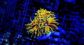 Euphyllia species Large Polyp Stony coral in saltwater reef aquarium. Euphyllia is a genus of large-polyped stony coral.Several species are commonly found in royalty free stock images