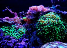 Euphyllia species Large Polyp Stony coral in saltwater reef aquarium. Euphyllia is a genus of large-polyped stony coral.Several species are commonly found in stock image