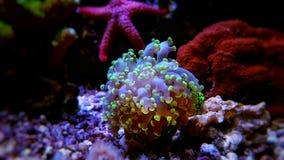 Euphyllia species lps corals in saltwater reef aquarium. Euphyllia species lps corals saltwater coral reef aquarium tank - isolated image stock photo