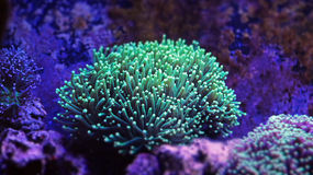Euphyllia Torch Coral Royalty Free Stock Image