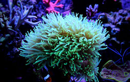 Euphyllia Torch Coral Royalty Free Stock Photography