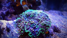 Euphyllia Torch Coral