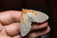 Euplocia membliaria moth on human hand Royalty Free Stock Photo