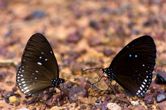 Euploea core butterflys gathering water on the rock floor Royalty Free Stock Photos