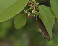 Euploea core, the common crow butterfly sipping royalty free stock photos