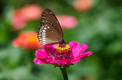 Euploea core, the common crow. Is a common butterfly found in South Asia and Australia Stock Images