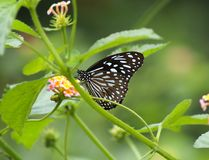 Euploea core, the common crow royalty free stock photo