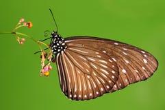 Euploea mulciber, butterfly on flower stock photo
