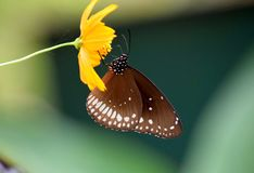 Euploes sedna Motyli obsiadanie na żółtym kwiacie Zdjęcie Stock