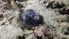 Euprymna berryi or Berrys Bobtail Squid Royalty Free Stock Image