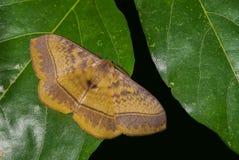 Eupterote sp. moth Royalty Free Stock Photo