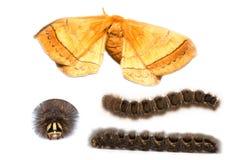 Eupterotidae moth and caterpillar Stock Photography