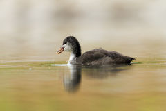 Eurasan coot Stock Photo