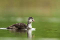 Eurasan coot Stock Photography