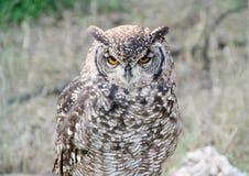 eurasean owl för örn Royaltyfria Foton