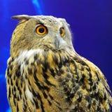 Eurasiático Eagle Owl Fotos de archivo
