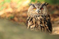Eurasiático Eagle Owl Imagen de archivo