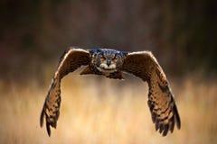 Eurasiático Eagle Owl, bubón del bubón, pájaro de vuelo con las alas abiertas en el prado de la hierba, bosque en el fondo, anima imagenes de archivo