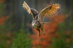 Eurasiático Eagle Owl, bubón del vuelo del bubón, con las alas abiertas en hábitat del bosque, árboles anaranjados del otoño Esce fotos de archivo