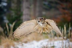 Eurasiático Eagle Owl del vuelo en bosque del invierno del colorfull Imagen de archivo libre de regalías