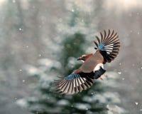 Eurasiático jay, vuelo del glandarius del Garrulus en nieve que cae