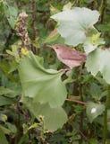 Eurasiático Reed Warbler en la vegetación Fotos de archivo libres de regalías