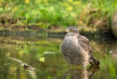 Eurasiático Sparrowhawk que toma un baño Imagen de archivo