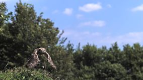 Eurasiático Tawny Owl, aluco del strix, adulto en vuelo, Normandía, almacen de metraje de vídeo