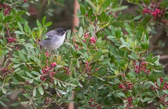 Eurasia Blackcap Royalty Free Stock Photography