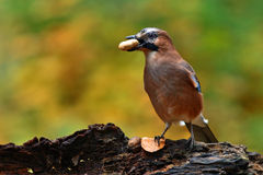 Eurasial jay Photographie stock