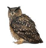 EurasianÖrn-Owl, Bubobubo, 15 gammala år Arkivbild