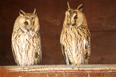 EurasianÖrn-owls i ladugården Arkivfoton