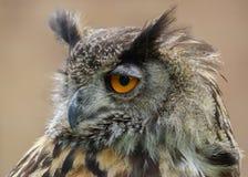 EurasianörnOwl/BuboBubo Arkivfoto