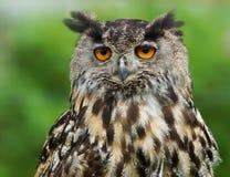 EurasianörnOwl/BuboBubo Fotografering för Bildbyråer