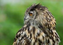 EurasianörnOwl/BuboBubo Royaltyfria Foton