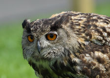 EurasianörnOwl/BuboBubo Arkivbild