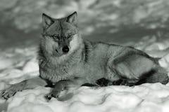 eurasian śnieżny zima wilk Obrazy Stock