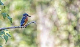 Eurasian, река или общий kingfisher, atthis alcedo, Невшател, Швейцария Стоковая Фотография RF
