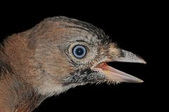 Молодая птица Джэй eurasian Стоковое фото RF