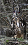 Eurasian appollaiato Eagle Owl immagine stock