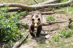 Eurasian arctos för brunbjörnUrsusarctos som att närma sig ut ur skogsmarker arkivfoton