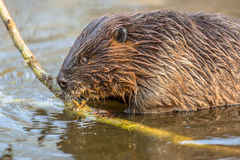 Eurasian beaver biting on a branch Royalty Free Stock Image