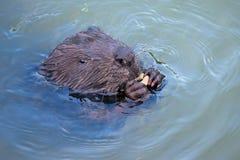 Eurasian beaver Castor fiber Rodent, eating. Stock Photography