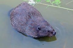 Eurasian beaver Castor fiber Rodent, eating. Royalty Free Stock Images