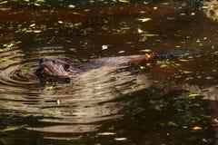 Eurasian beaver Castor fiber swimming in pond, small green an royalty free stock image